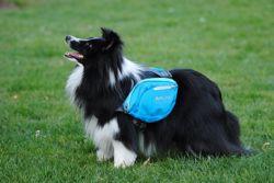 Lizéa, chien Berger des Shetland