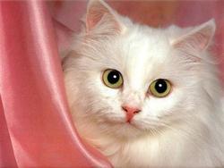 Lizi, chat Angora turc