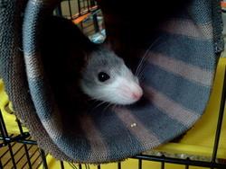 Lizy, rongeur Rat