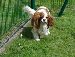 Lizzie, chien Cavalier King Charles Spaniel