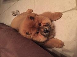 Lizzie, chien Chow-Chow