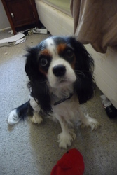 Lizzy, chien Cavalier King Charles Spaniel