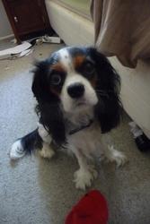 Lizzy, chien Cavalier King Charles Spaniel