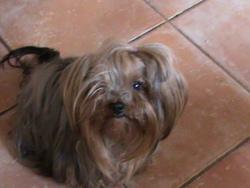 Lizzy, chien Yorkshire Terrier