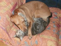 Lizzy, chien Podenco ibicenco