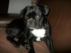 Lizzy, chien Bouledogue français