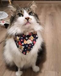 Lizzie, chat Norvégien