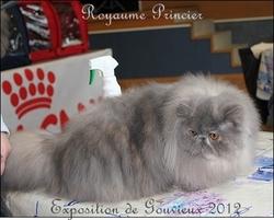 Glamour Majesty, chat Persan