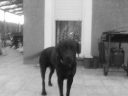 Llop, chien Labrador Retriever