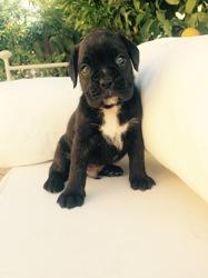 Lloyd, chien Boxer