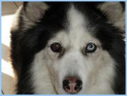 Loba, chien Husky sibérien
