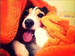 Loca, chien Jack Russell Terrier