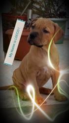 Locco, chien Staffordshire Bull Terrier