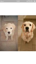 Locka, chien Golden Retriever