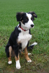 Lockie, chien Border Collie