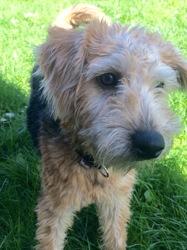 Locky, chien Yorkshire Terrier