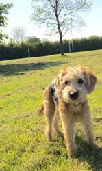 Locky, chien Fox-Terrier