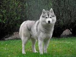 Log, chien Husky sibérien