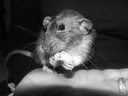 Logan, rongeur Rat