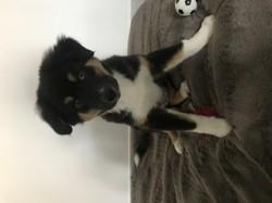 Loki, chiot Berger australien