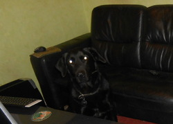 Loki, chien Labrador Retriever