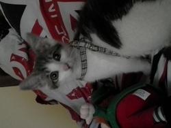 Loki, chat Européen