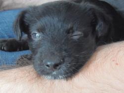 Loki, chien