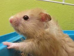 Loki, rongeur Hamster