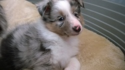 Loki, chien Berger des Shetland