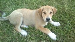 Loki, chien Berger des Pyrénées