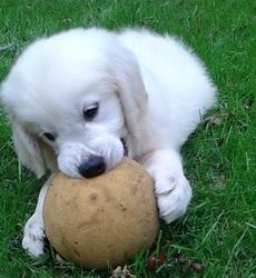 Loki, chien Golden Retriever