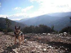 Loki, chien Berger allemand