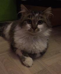 Loki, chat Angora turc