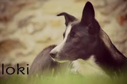 Loki Lové, chien Bearded Collie