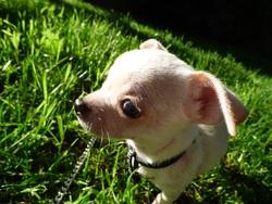 Lokoum, chien Chihuahua