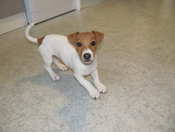 Loky, chien Jack Russell Terrier