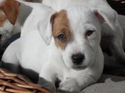 Loky, chiot Jack Russell Terrier