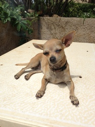 Lol, chien Chihuahua
