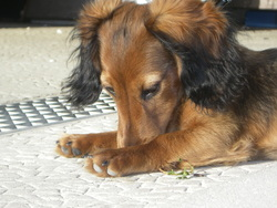 Lola, chien