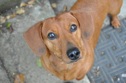 Lola, chien Teckel
