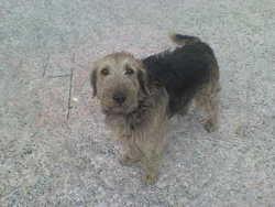 Lola, chien Fox-Terrier
