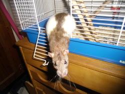 Lola, rongeur Rat