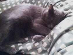 Lola, chat Chartreux