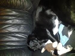 Lola, chien Labrador Retriever