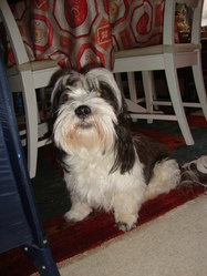 Lola, chien Lhassa Apso