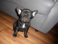 Lola, chien Bouledogue français