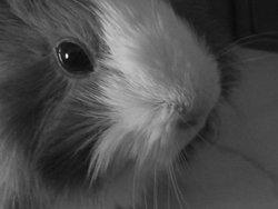Lola, rongeur Cochon d'Inde