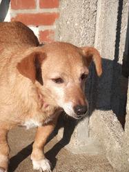 Lola , chien Teckel