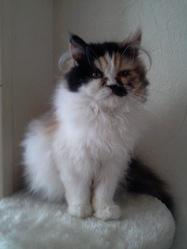 Lola, chat Persan