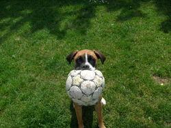 Lola, chien Boxer